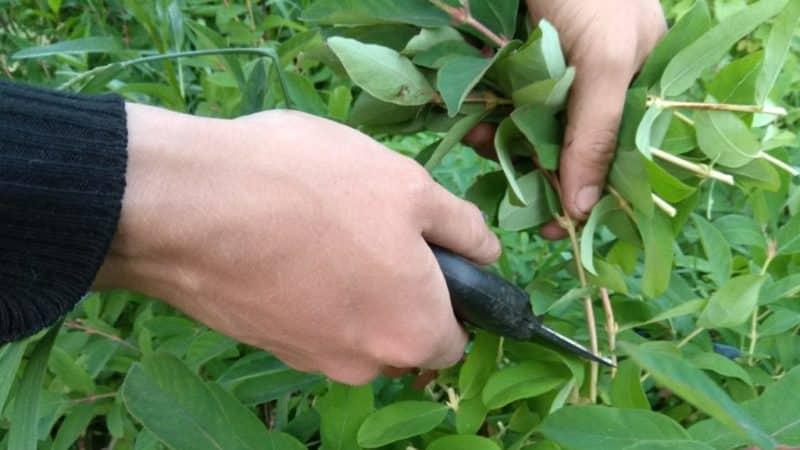 Размножаем жимолость черенками - самый простой способ!