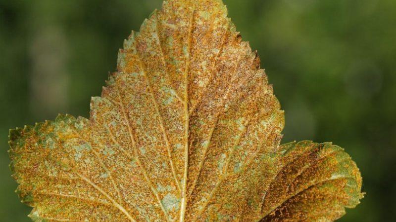 Как бороться со ржавчиной на смородине и предотвратить ее появление