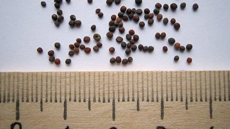 Семена репы - как выбрать лучший сорт