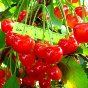 Подходящий для выращивании в Центральной России сорт черешни Фатеж