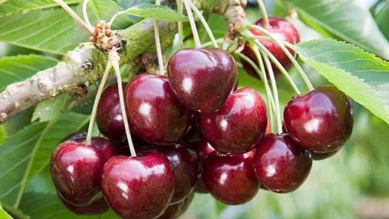 Молодой, но набирающий популярность у садоводов сорт черешни Ревна