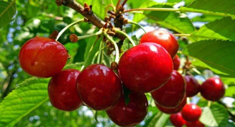 Устойчивый к непогоде сорт черешни Василиса с крупными и вкусными ягодами