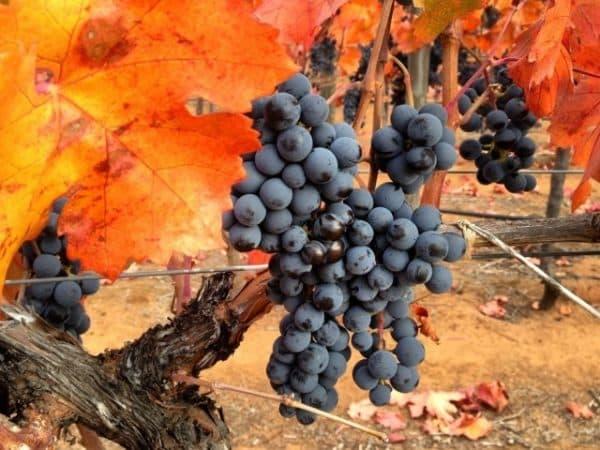 Неприхотливый вкусный сорт винограда Карменер