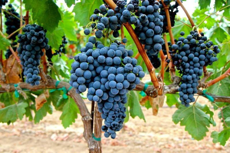 """Известный низкокалорийный сорт винограда """"Темпранильо"""""""