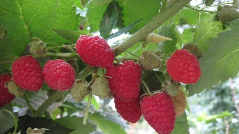 Сорта малины для средней полосы