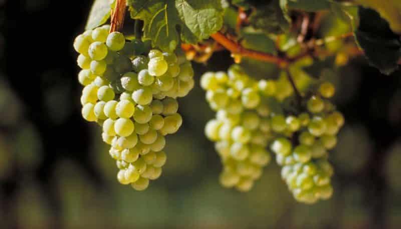 """Очень популярный и вкусный сорт винограда """"Рислинг"""""""