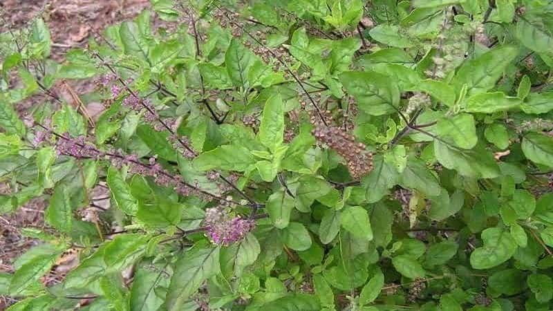 Тонкоцветный базилик - применение и полезные свойства