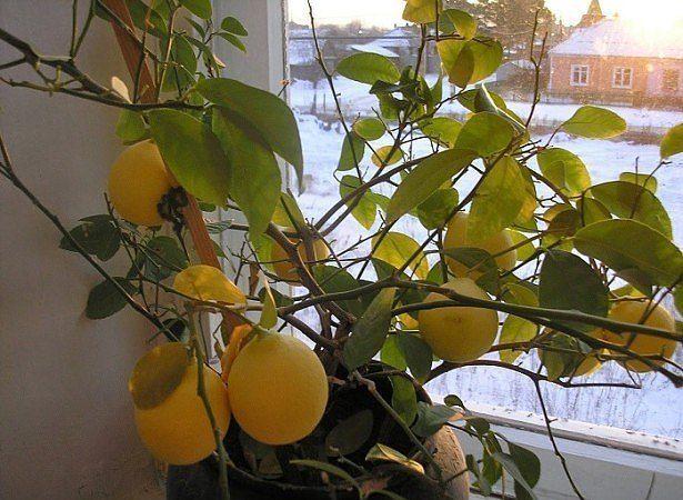 Что делать, если у лимона опадают листья