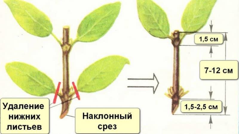 Устойчивый к холодам сорт жимолости Черничка с кисло-сладкими плодами