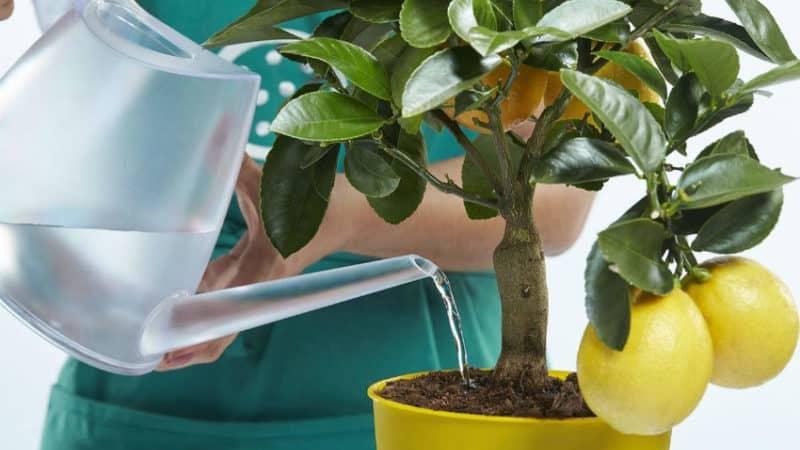 Почему у лимона скручиваются листья и как решить проблему