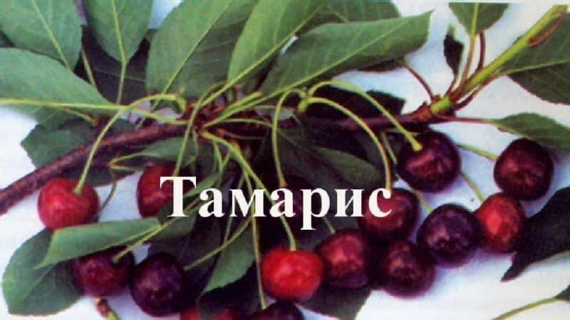 """Скороплодный устойчивый сорт вишни """"Тамарис"""""""