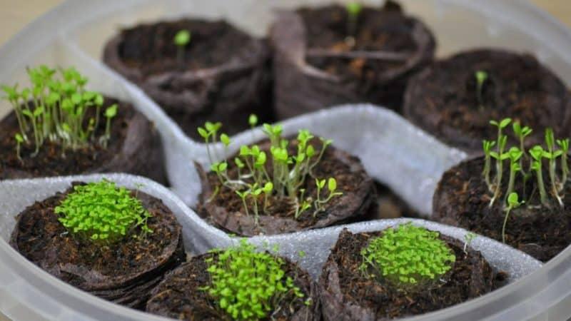 Как вырастить петунию из семян в домашних условиях: посев на рассаду, уход, пересадка в открытый грунт
