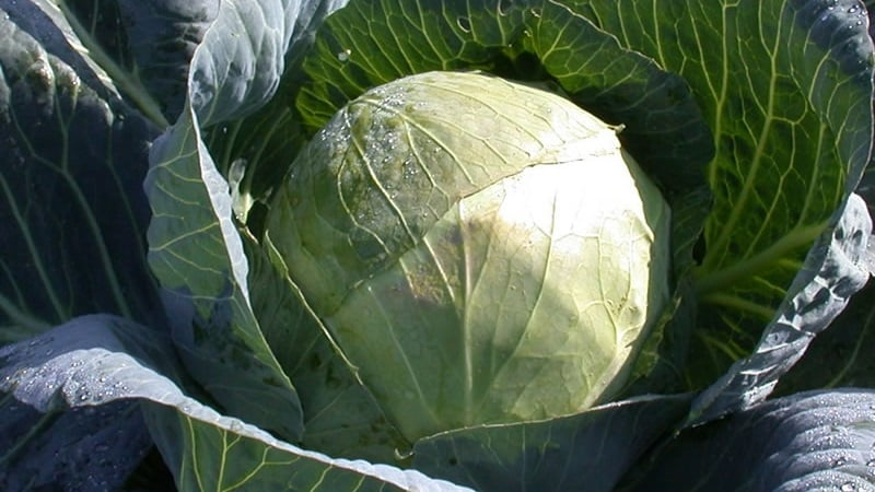 """Высокоурожайный сорт капусты """"Белорусская"""": описание и характеристика"""