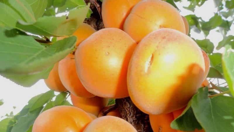 Многообразие сортов абрикоса для разных регионов