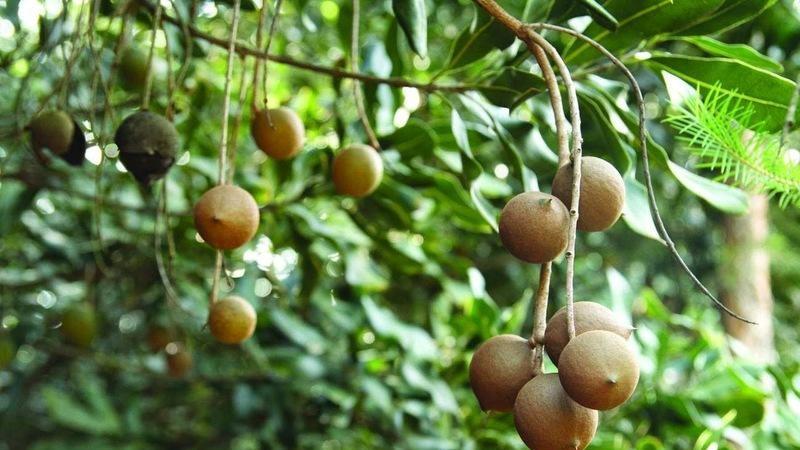 Как вырастить макадамию из ореха в домашних условиях