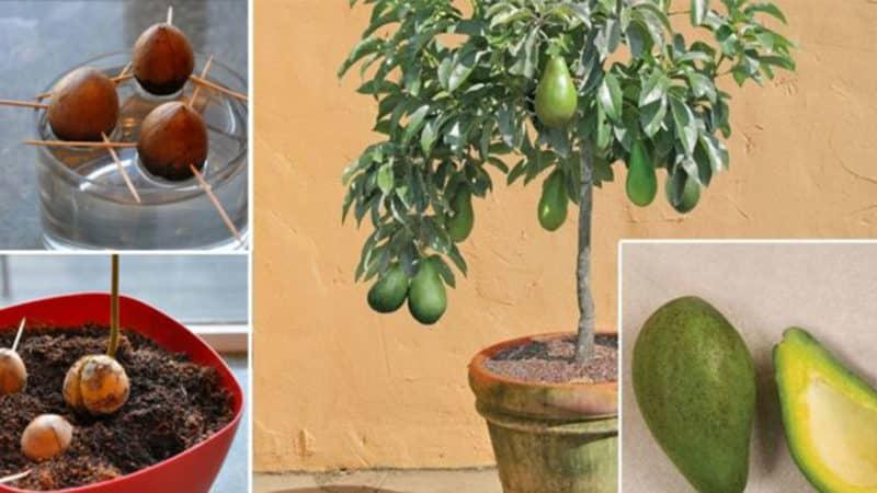 Как авокадо сделать спелым быстро