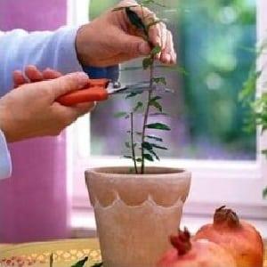 Как правильно обрезать гранат в саду и в домашних условиях