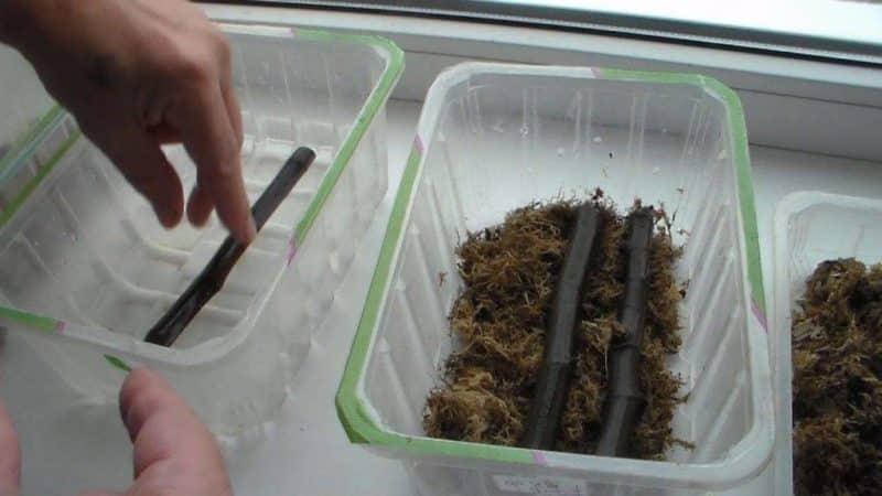 Простые способы, как размножить инжир черенками в домашних условиях
