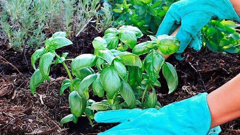 Как выращивать базилик в открытом грунте в Подмосковье
