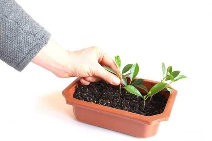 Пошаговая инструкция: как вырастить войлочную вишню из косточки в домашних условиях