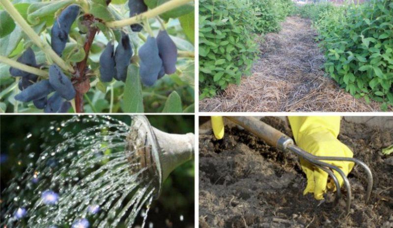 Почему в июне желтеют листья у жимолости и как это исправить