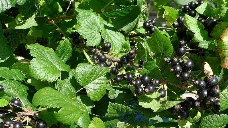 Лучшие сорта черной смородины для средней полосы России и Среднего Поволжья