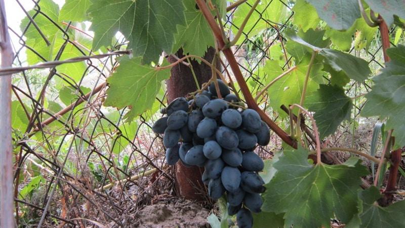 Многообразие темных сортов винограда