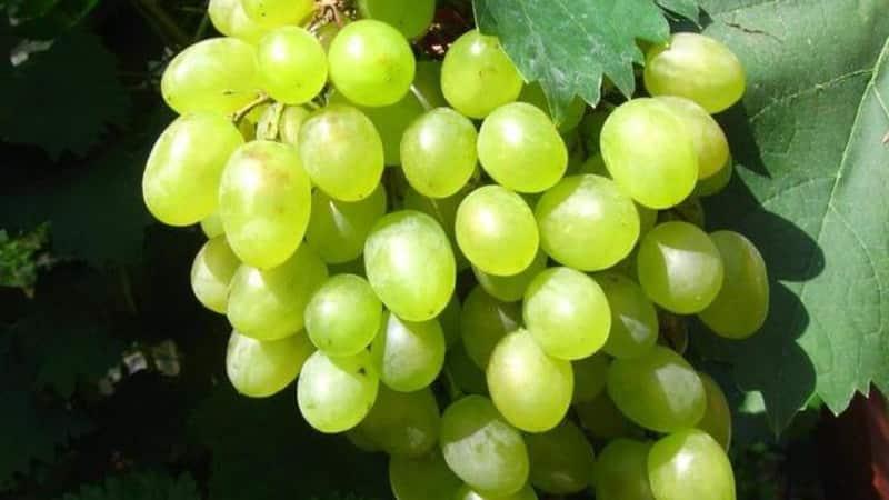 Обзор лучших столовых сортов винограда и рекомендации по выбору