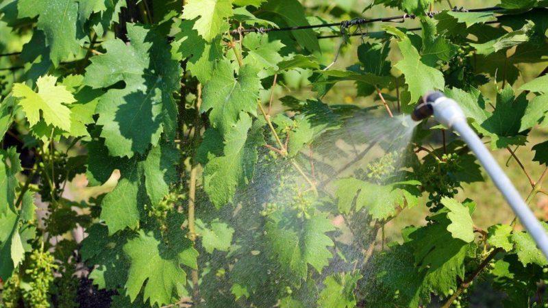 Лучшие сорта винограда для Подмосковья: характеристики и описание, советы по выбору