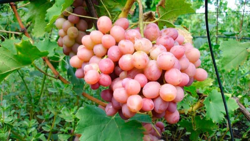 Особенности выращивания винограда Ливия