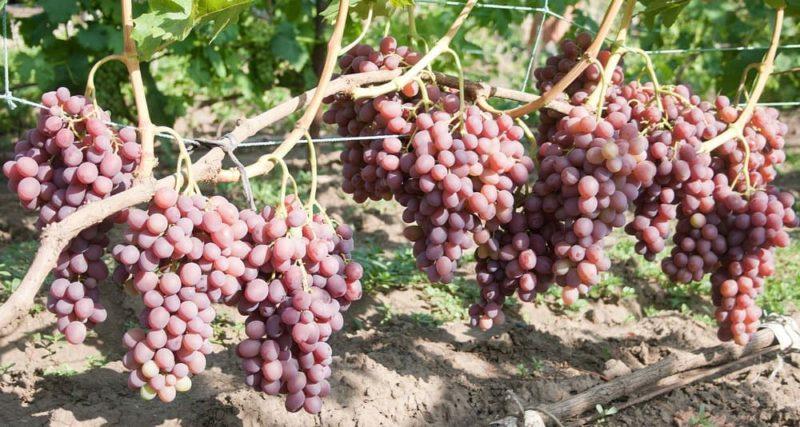 Виноград сорта ливия описание и характеристики сроки созревания и размножение
