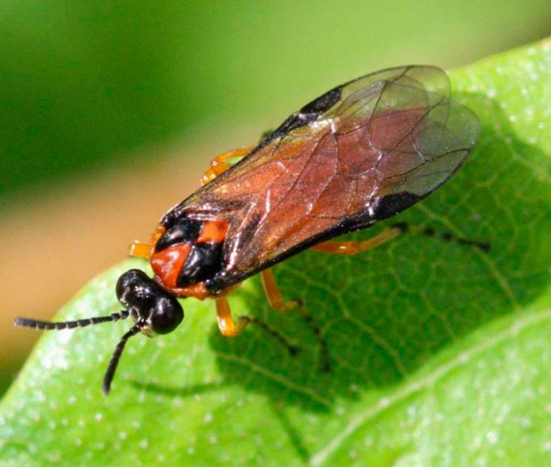 Кто из вредителей ест листья крыжовника и что делать, чтобы спасти кусты