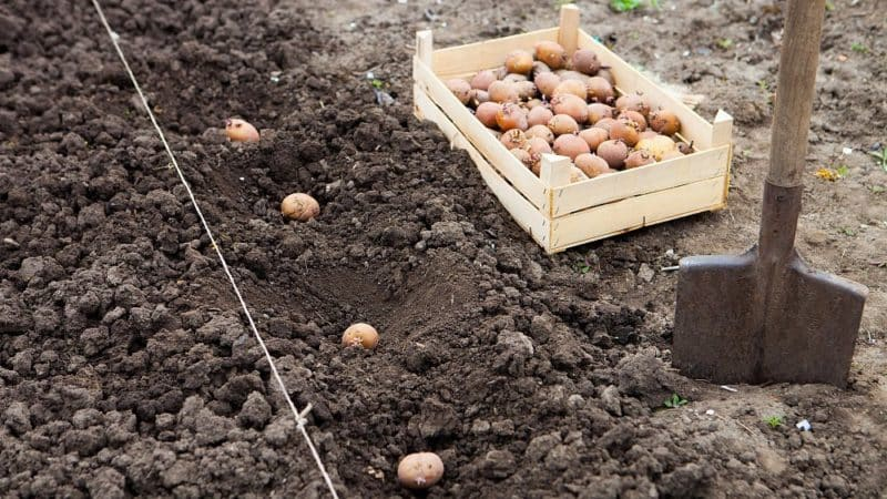 Новые способы посадки картофеля и особенности ухода