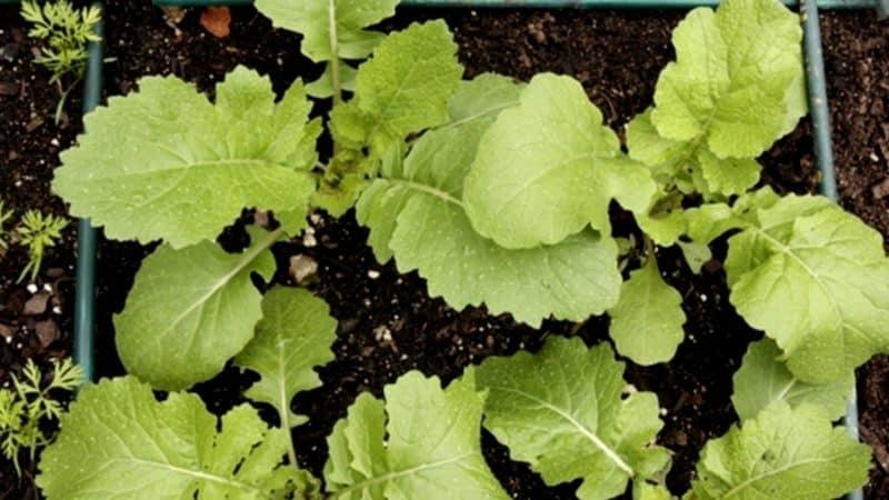 Выращивание и уход за репой в открытом грунте