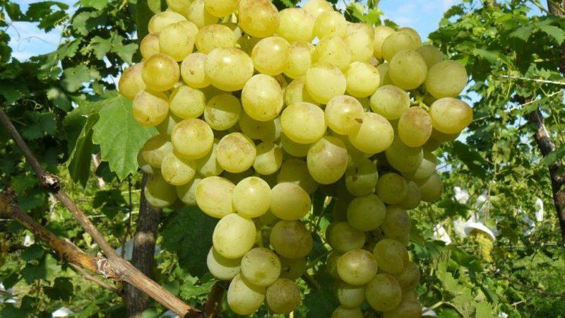 """Классический универсальный сорт винограда """"Восторг"""""""