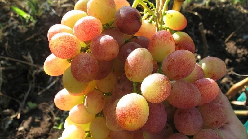 Требования к сортам винограда для Сибири и обзор лучших из них
