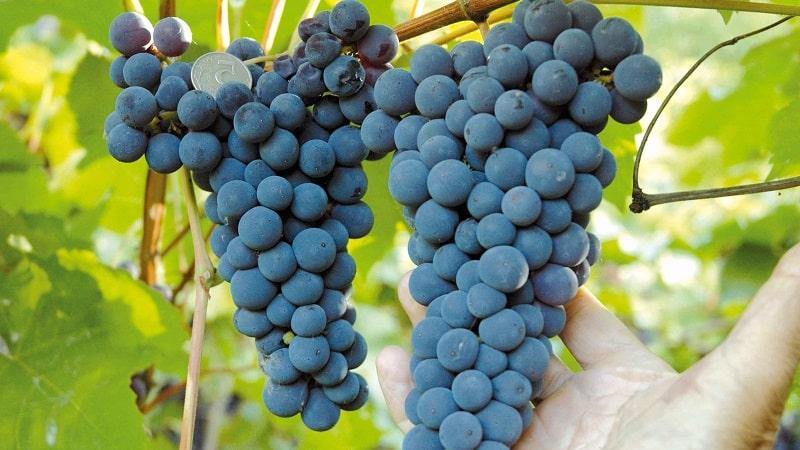 Столовые сорта винограда для подмосковья