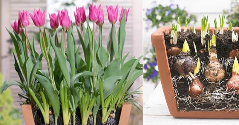 Как правильно выращивать тюльпаны в горшке в домашних условиях