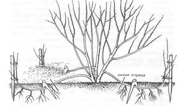 Жимолость Гекрота - описание и характеристики
