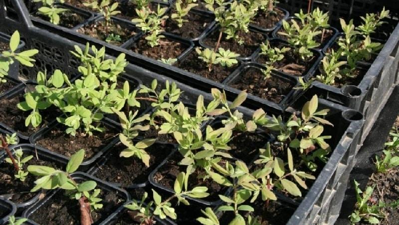 Жимолость каприфоль (ароматная лиана): описание, способы размножения, нюансы ухода