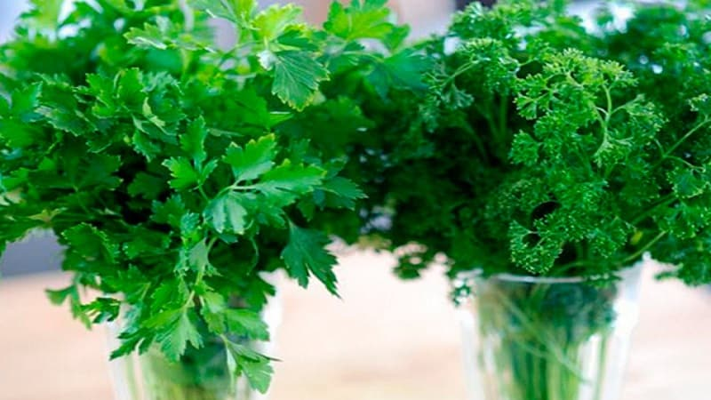 Петрушка - описание, выращивание, фото