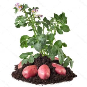 Что такое картофель и к какому семейству он относится, полное описание с фото