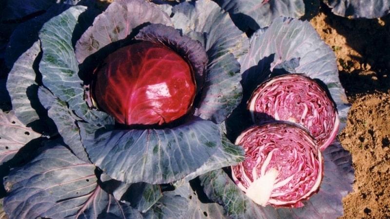 Сорта и виды капусты с фото и описаниями