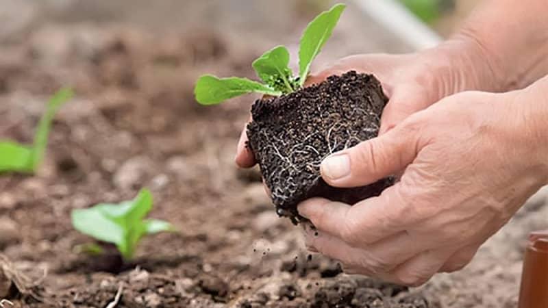 Как лучше сажать цветную капусту: рассадный и безрассадный способы