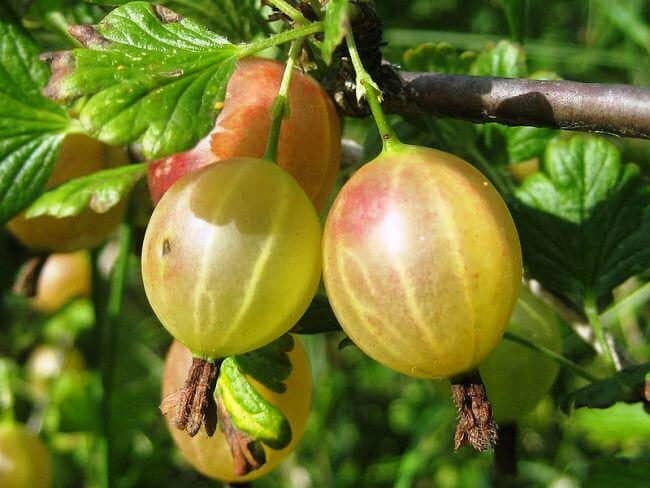 Стойкий слабошипный крыжовник Алтайский номерной, гарантирующий богатый урожай сладких ягод