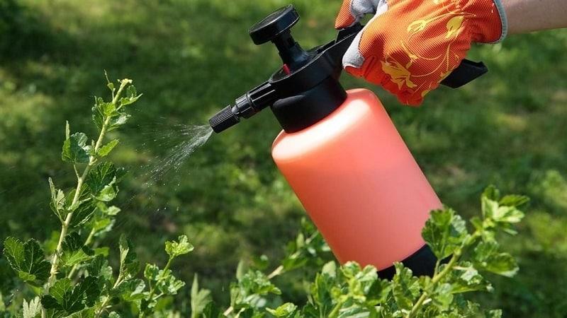 Чем обрабатывать крыжовник весной и летом от болезней и вредителей