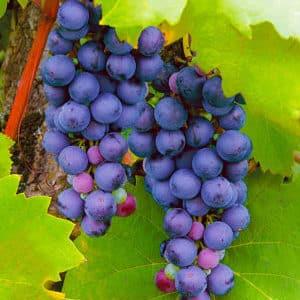 Подборка лучших комплексно устойчивых сортов винограда и рекомендации по их выбору