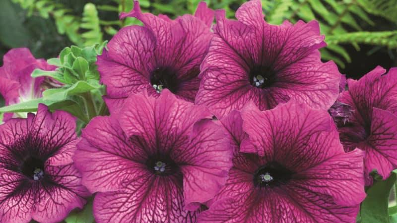 Чем хороши цветы петуния и как правильно их выращивать