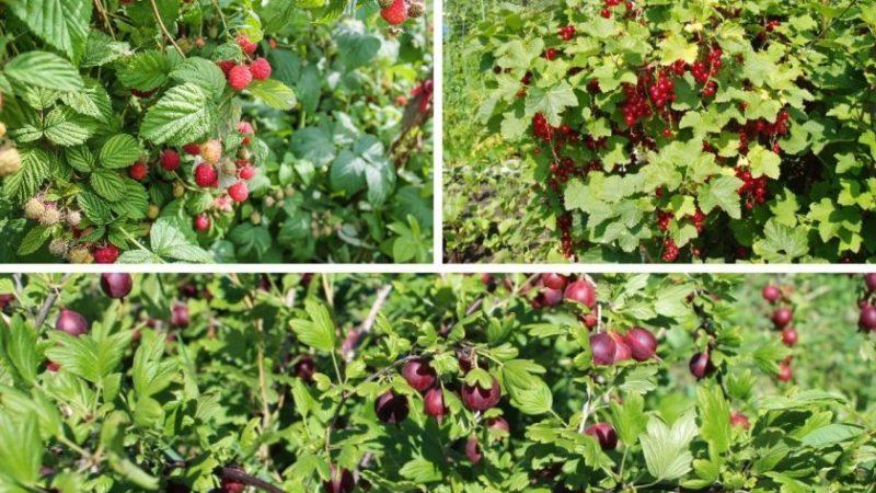 Правила севооборота при выращивании ягод: можно ли сажать черную смородину и красную рядом