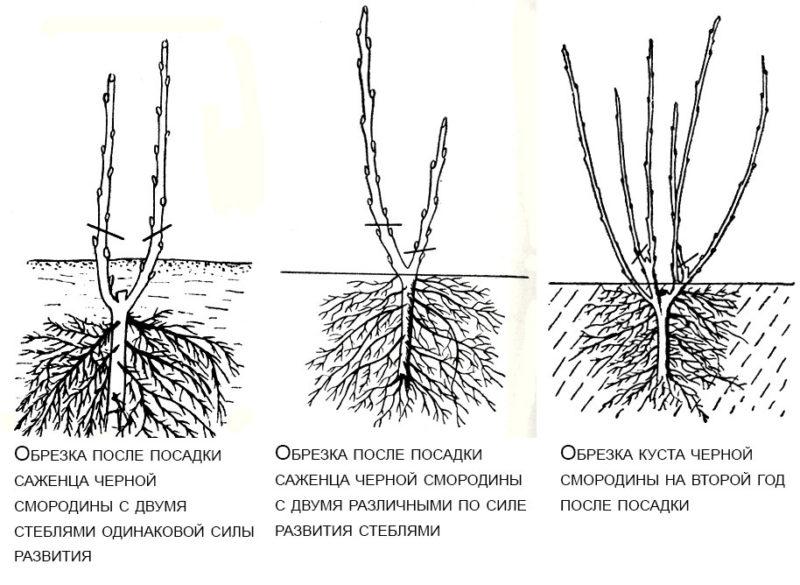 Пошаговая инструкция, как обрезать смородину весной, чтобы был хороший урожай